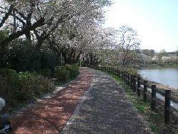 Sakura_008